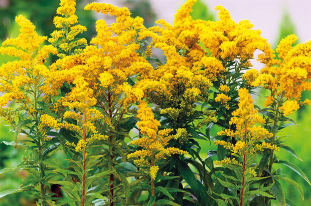solidago for flower crowns